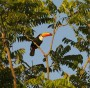 Toucan in Brazilian Rainforest (fonte Greenpeace)