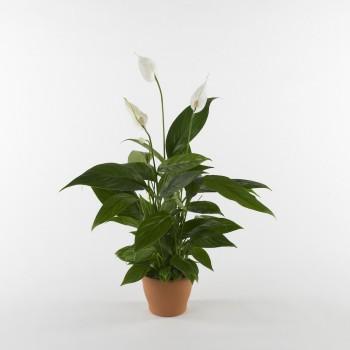 10 piante per depurare la casa dagli inquinanti indoor for Piante appartamento design