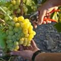Cambiamento climatico così morirà l'industria vinicola italiana 2