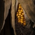 Restano 3 giorni all'Italia per vietare le coltivazioni OGM 1