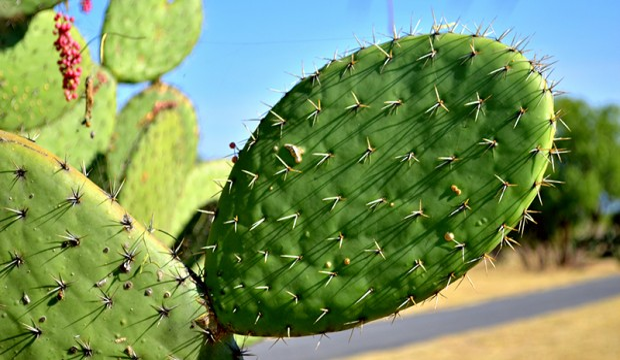 Biogas: in Messico le auto fanno il pieno con i cactus