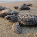 tartarughe marine sulla spiaggia di mumbai