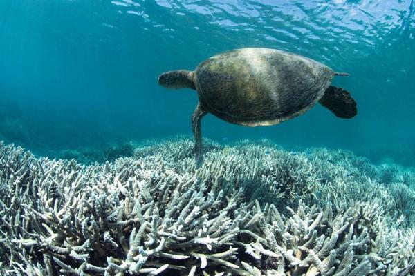 sbiancamento barriera corallina australia