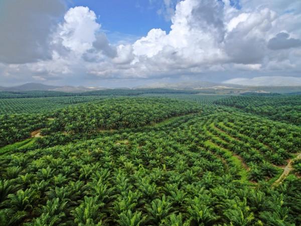 indonesia olio di palma