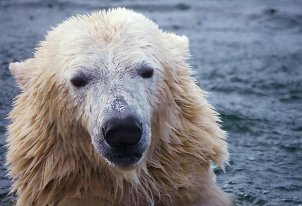 orsi polari isolamento termico