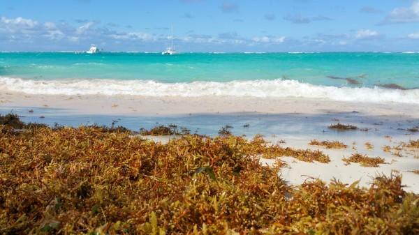 alghe sargasso