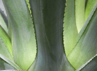 bioetanolo agave