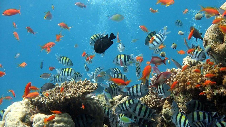 Grande barriera corallina: dal 1995 è morta metà dei coralli
