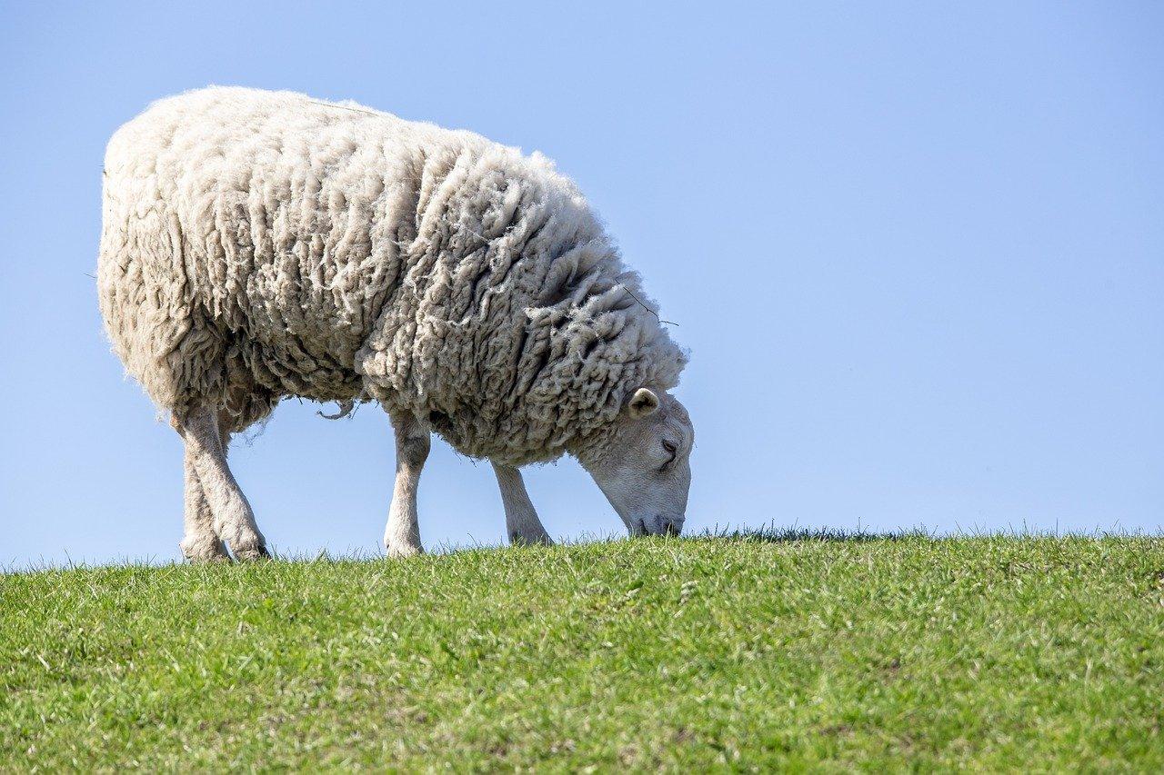 SheepToShip