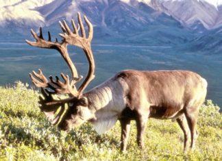 Trivelle in Alaska