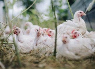 pollaio ecologico