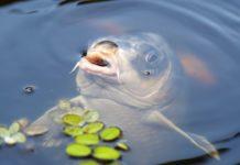 Estinzione di massa: a rischio 6mila specie di pesci d'acqua dolce