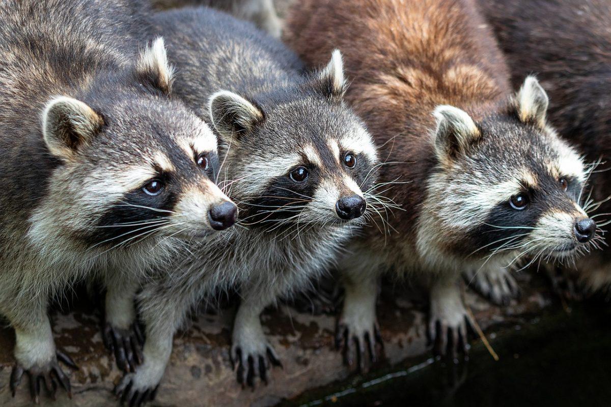 Specie invasive in Europa: in 60 anni hanno causato 115 mld di danni