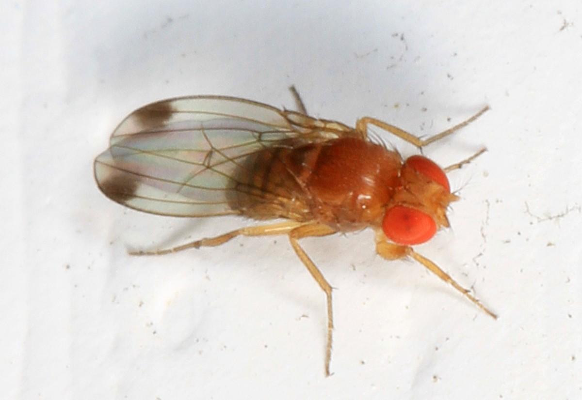 Avviato in Valle d'Aosta un progetto di lotta biologica alla Drosophila suzuki