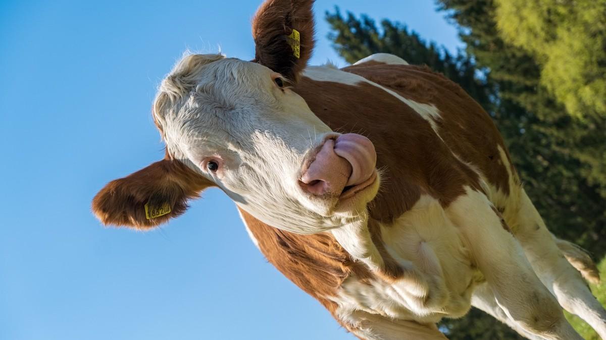 Impatto climatico dell'allevamento: l'Olanda taglia i capi del 30%