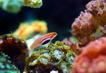 Barriere coralline: arriva l'atlante globale dei coralli